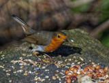 Rob a Dob by biffobear, photography->birds gallery