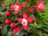 Upright Mini-Fuschia by trixxie17, photography->flowers gallery