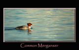 Merganser by gerryp, Photography->Birds gallery