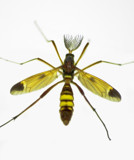 Tipulidae or Crane Fly by Gothic, photography->insects/spiders gallery