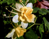 Another Columbine by trixxie17, photography->flowers gallery