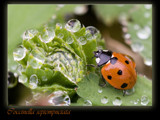 Coccinella septempnetata by kodo34, Photography->Insects/Spiders gallery