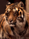Exotic Feline Rescue Center #3 by tigger3, photography->animals gallery