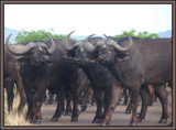 BUFFALOES by SusanVenter, Photography->Animals gallery