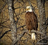 Bald eagle by GIGIBL, photography->birds gallery