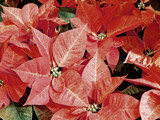 Odd Color Poinsettia by trixxie17, holidays->christmas gallery