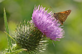 Thistle & Visitor by MJsPhotos, photography->butterflies gallery