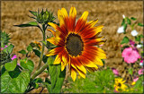 'Sunburned' Sunflower by corngrowth, photography->flowers gallery