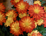 Pele Mums by trixxie17, photography->flowers gallery