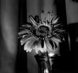 Gerbera, Light, & Shadows by mesmerized, photography->flowers gallery