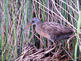 Clapper Rail by allisontaylor, Photography->Birds gallery