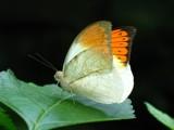 Orange Butterfly by zippee, Photography->Butterflies gallery