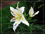 Crepe Lily by wheedance, Photography->Flowers gallery
