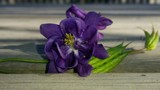 Columbine by June, photography->flowers gallery