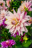 Dahlia Show 15 by corngrowth, photography->flowers gallery
