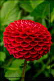 Dahlia Show 16 by corngrowth, photography->flowers gallery