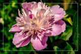 Framed Peony 2 by corngrowth, photography->flowers gallery