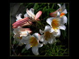 Lilies Of The Field by LynEve, photography->flowers gallery