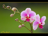orchid by kodo34, Photography->Flowers gallery