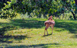 Backyard Bambi by 0930_23, photography->animals gallery