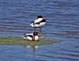 Shelducks by biffobear, photography->birds gallery