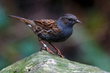 The Dunnock by biffobear, photography->birds gallery
