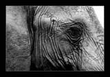Ele-eye by dmk, Photography->Animals gallery