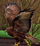 Buzzard by biffobear, photography->birds gallery
