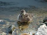 Loch Lomond Duck by s0050463, Photography->Birds gallery