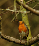 Robin Redbreast by biffobear, photography->birds gallery