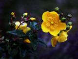 Rose of Sharon (Hypericum Calyicinum) by LynEve, photography->flowers gallery