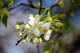First Apple Blossoms by Pistos, photography->flowers gallery