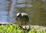 Yellow Crowned Night Heron and lunch by BarnArt, photography->birds gallery