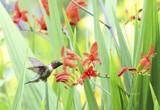 Garden Hummingbird by tigger3, photography->birds gallery