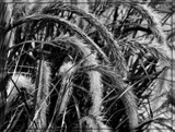 Fountain Grass by trixxie17, contests->b/w challenge gallery