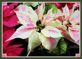 Monet Poinsettia by trixxie17, Holidays->Christmas gallery