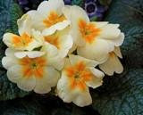 Primrose Lane by trixxie17, photography->flowers gallery