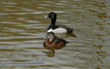 Ring Necked Ducks by gonedigital, photography->birds gallery