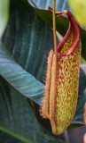 Pitcher Plant by Pistos, photography->flowers gallery