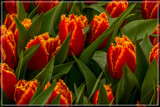 Amsterdam Tulip Festival 01 by corngrowth, photography->flowers gallery