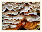 Fungi On Log by gerryp, Photography->Mushrooms gallery