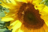 Summer Sunflowers #2 by LynEve, photography->flowers gallery