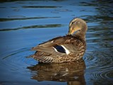 Mallard by picardroe, photography->birds gallery