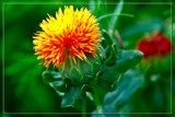 F² Safflower by corngrowth, photography->flowers gallery