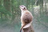 Heavenly Meerkat by sandbrat, Photography->Animals gallery