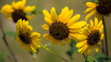 Sunflower Season by Pistos, photography->flowers gallery