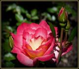 Aglow by trixxie17, Photography->Flowers gallery
