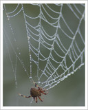 Dew Drops by garrettparkinson, Photography->Insects/Spiders gallery