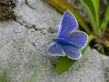 Common Blue by pom1, Photography->Butterflies gallery