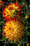 Dahlia Show 65 by corngrowth, photography->flowers gallery